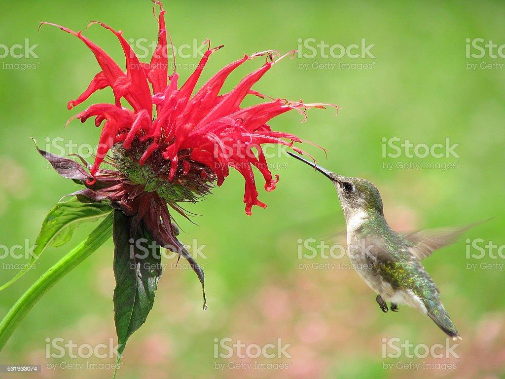 Ruby Throat Hummingbird - female stock photo