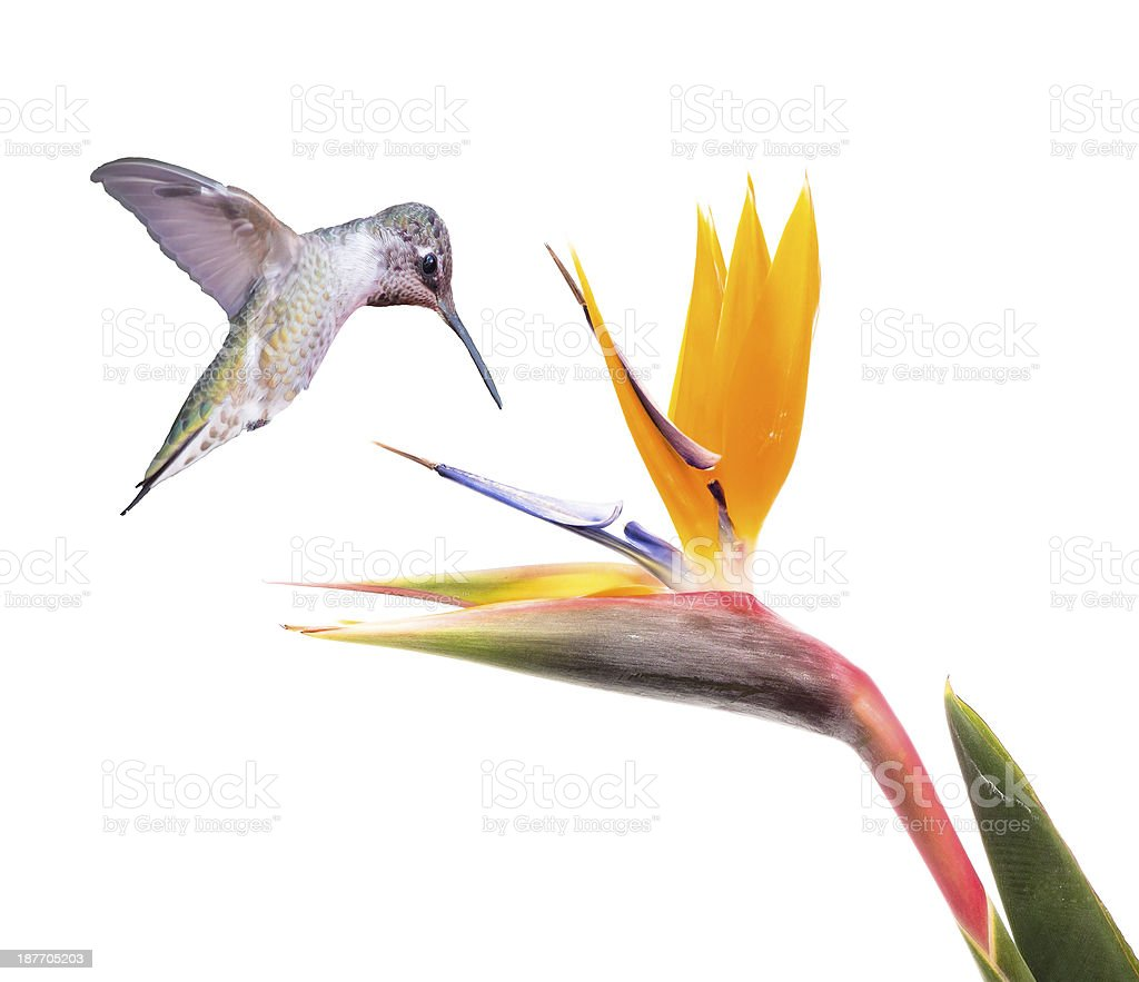 Ruby Throated Hummingbird and Bird of Paradise Flower on White stock photo