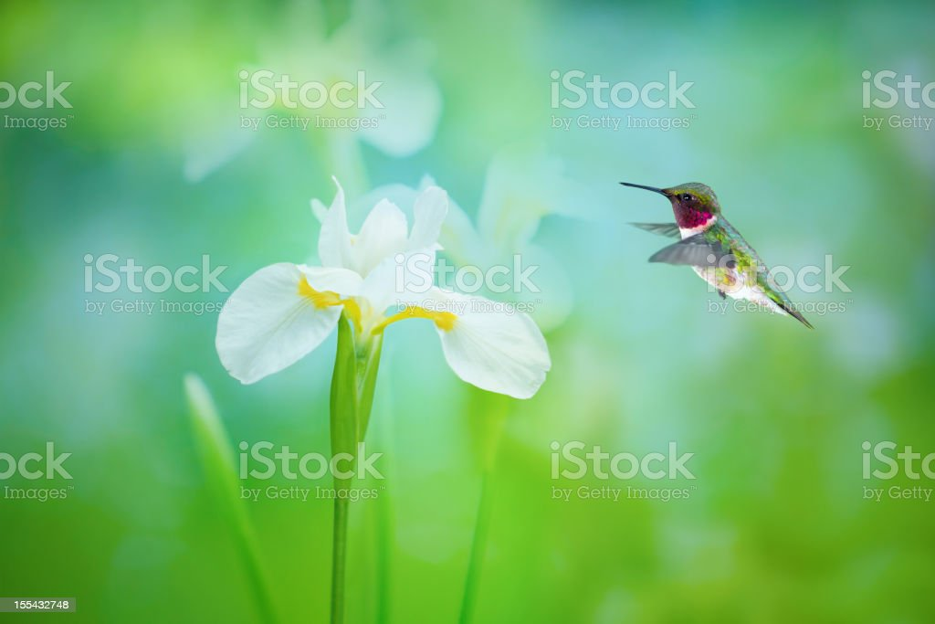 Ruby Throated Hummingbird and White Iris stock photo