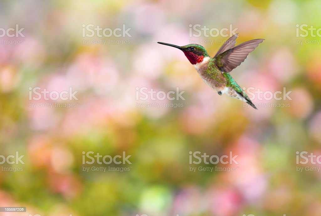 Ruby Throated Hummingbird Colorful Background stock photo