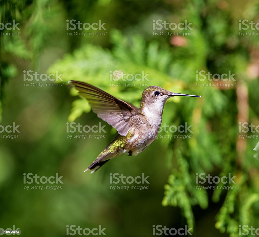 Ruby Throated hummingbird (female) stock photo
