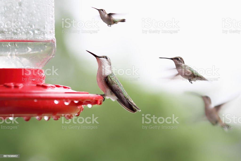 Ruby Throated Hummingbird stock photo