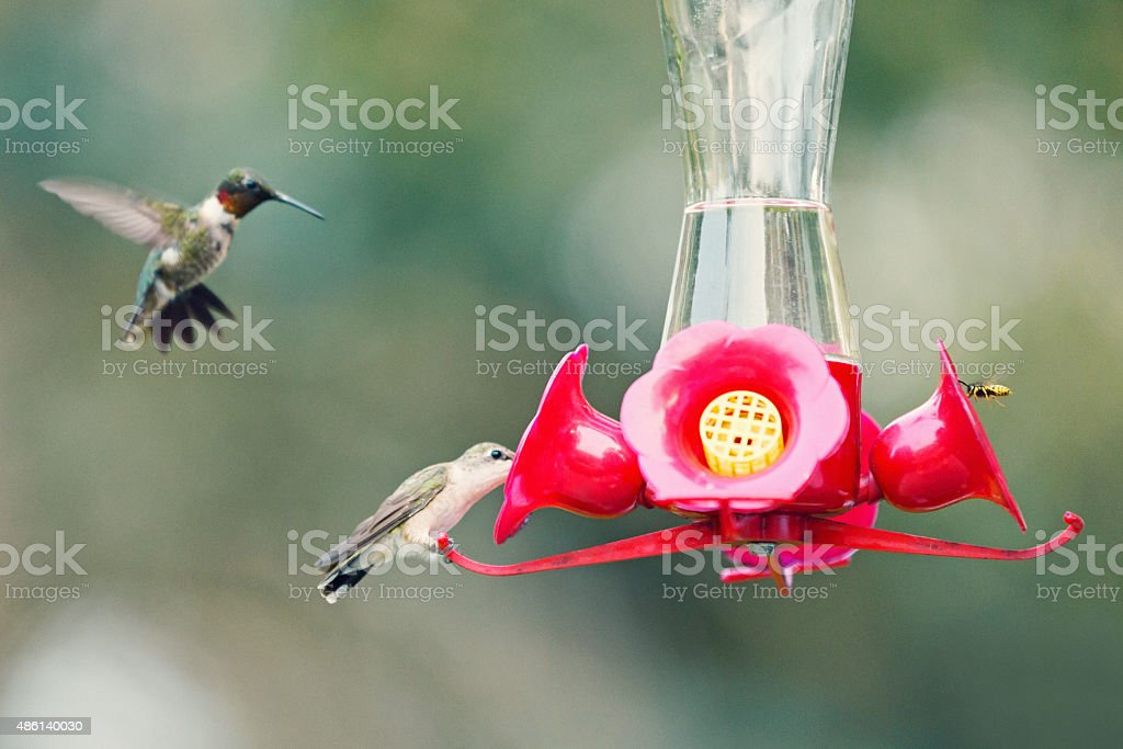 Ruby Throated Hummingbirds and Bee on Bird Feeder stock photo