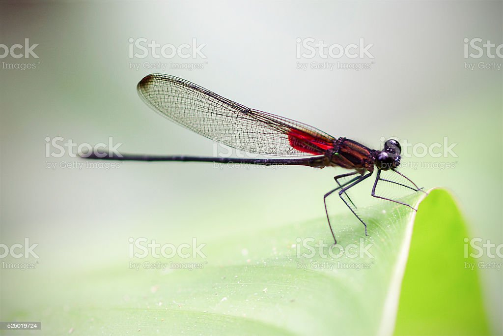 rubyspot damselfly, Haeterina cruentata stock photo