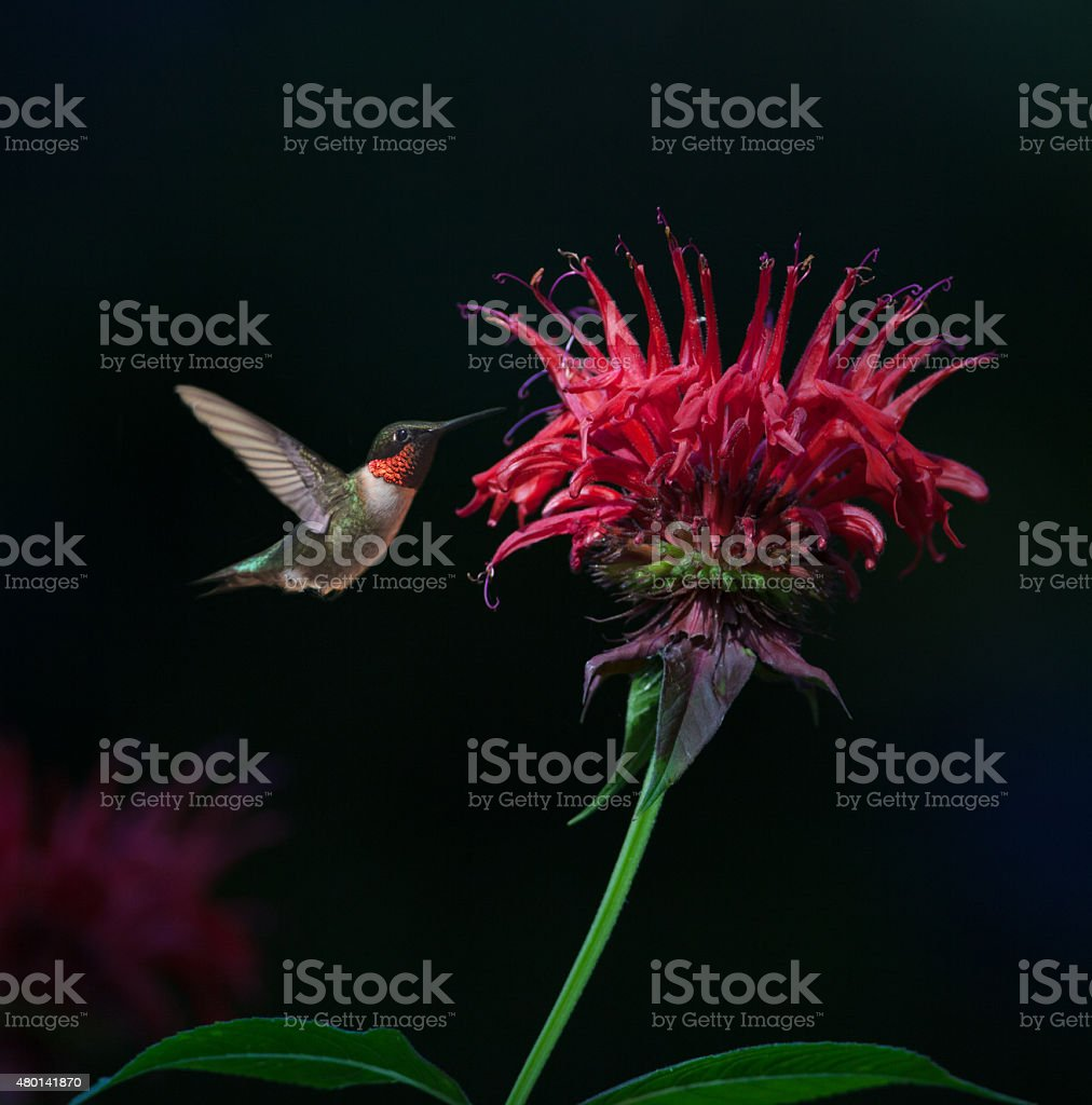 Ruby-throated Hummingbird on Bee Balm stock photo