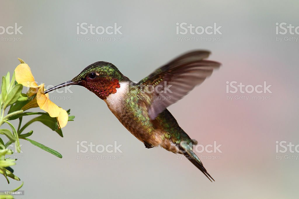 Ruby-throated Hummingbird (archilochus colubris) stock photo