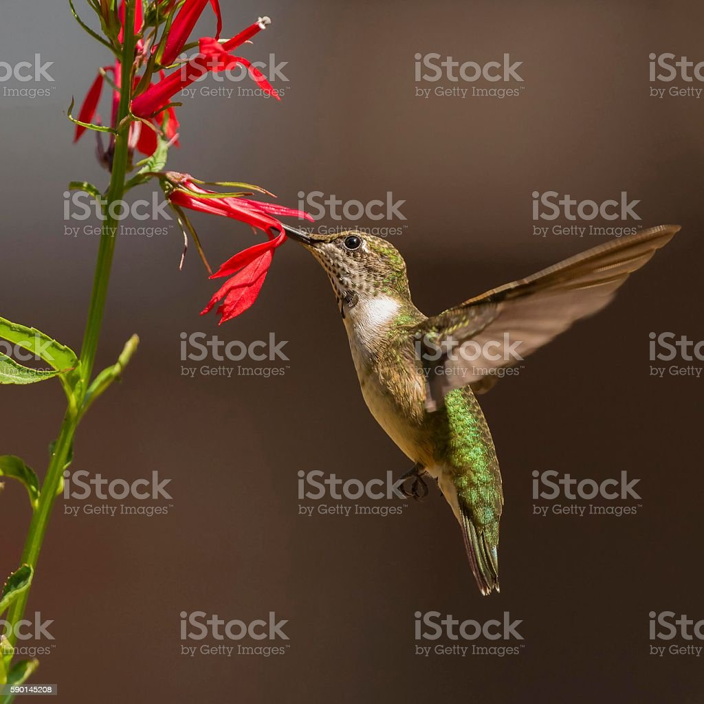 Ruby-throated Hummingbird with Cardinal Flower stock photo