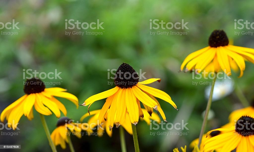 Rudbeckia also known as the Black Eyed Susan stock photo