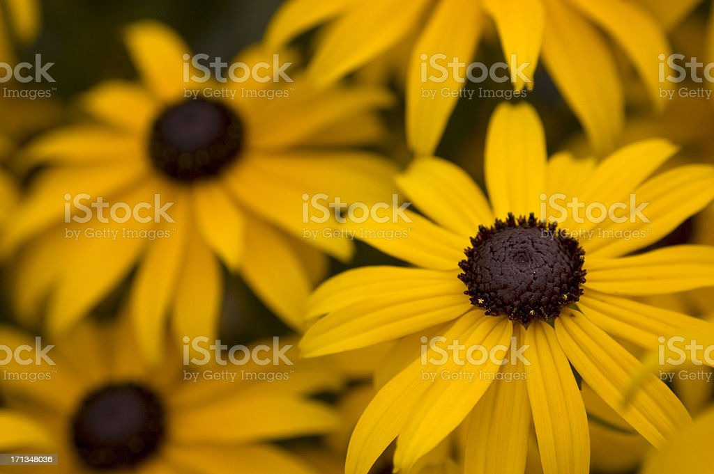 Rudbeckia Black-eyed Susan blossoms royalty-free stock photo