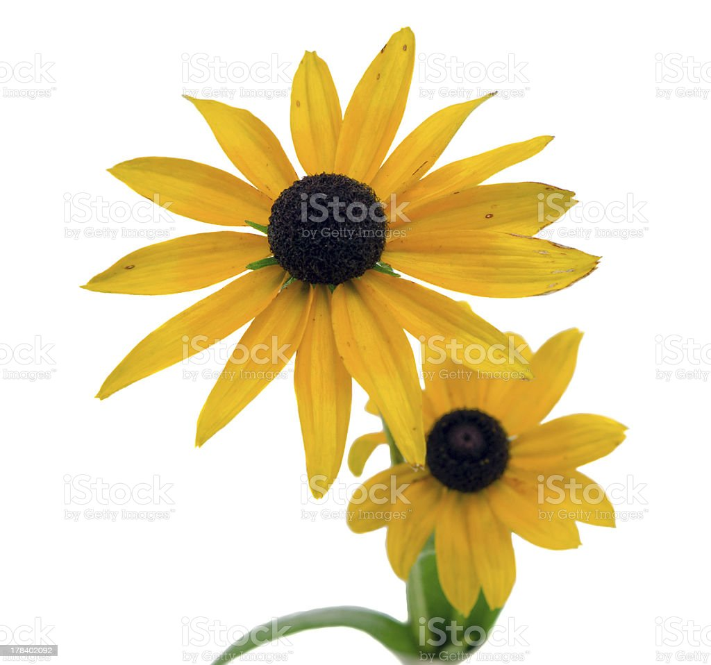 Rudbeckia coneflower flower isolated on white royalty-free stock photo