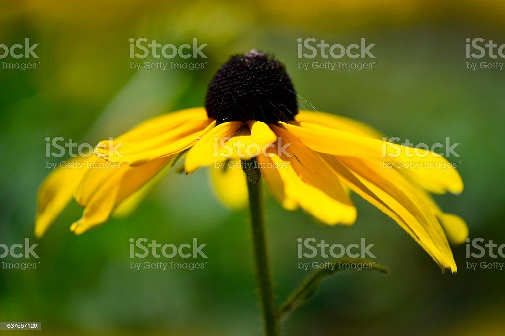 Rudbeckia flower, sunflower family, black-eyed-susans