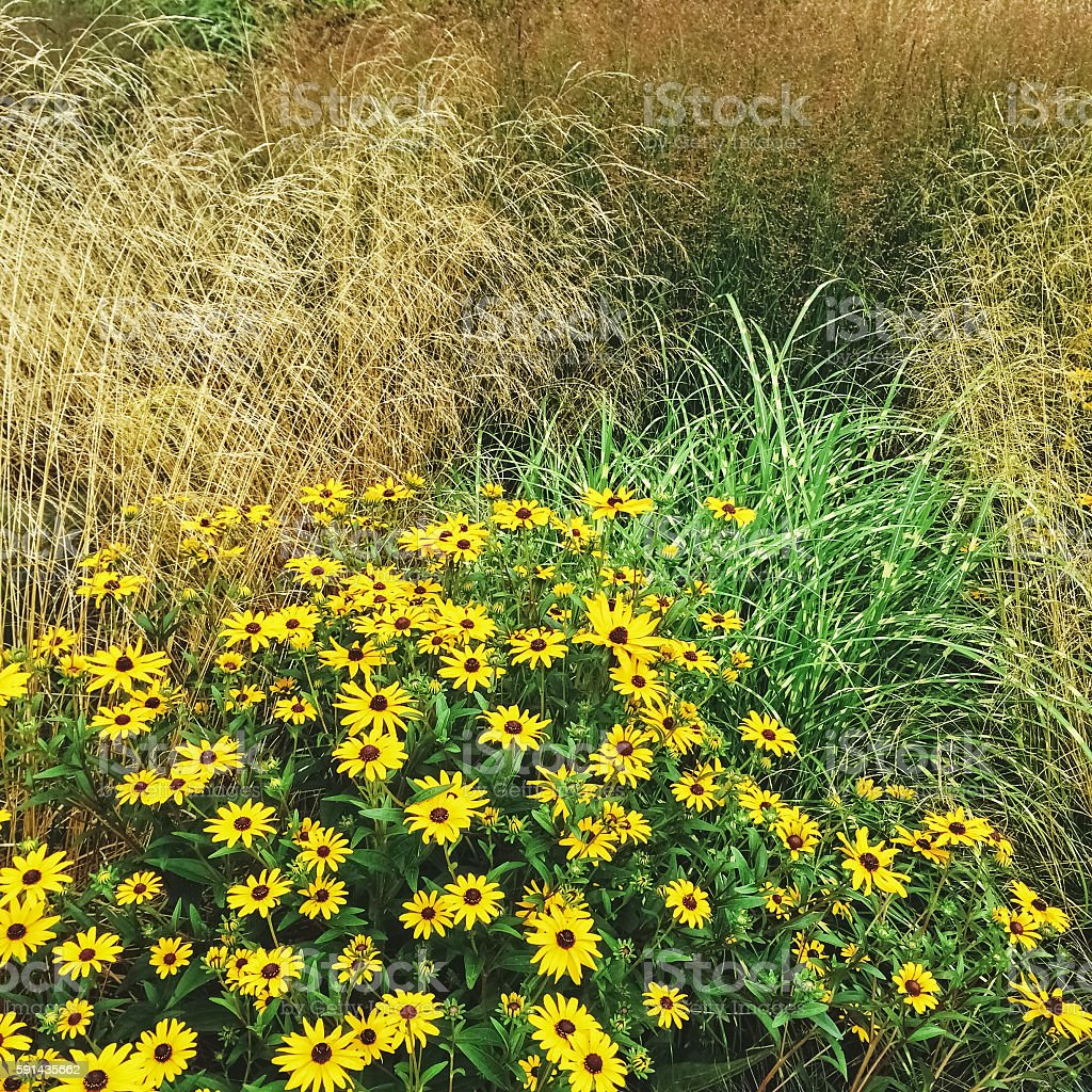 Rudbeckia flowers blooming in the summer garden stock photo
