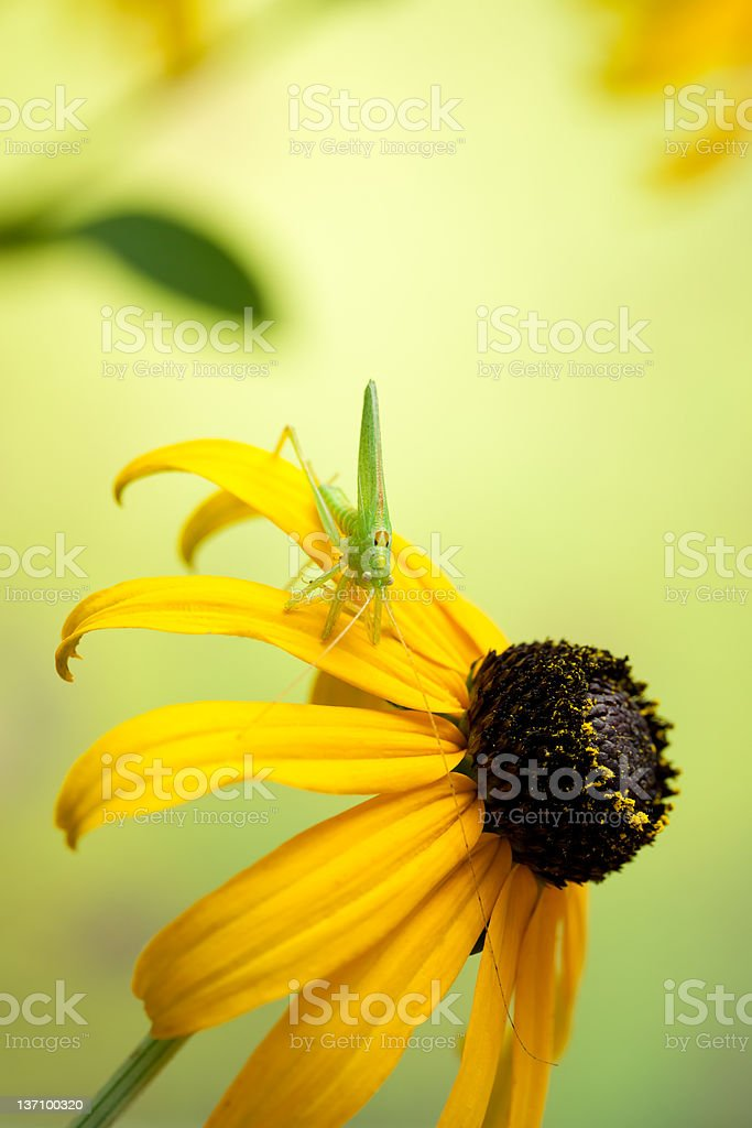 Rudbeckia flowers with grasshopper royalty-free stock photo