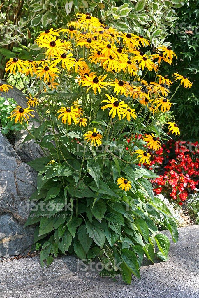 Rudbeckia fulgida 'Goldsturm' also known as coneflowers or black stock photo