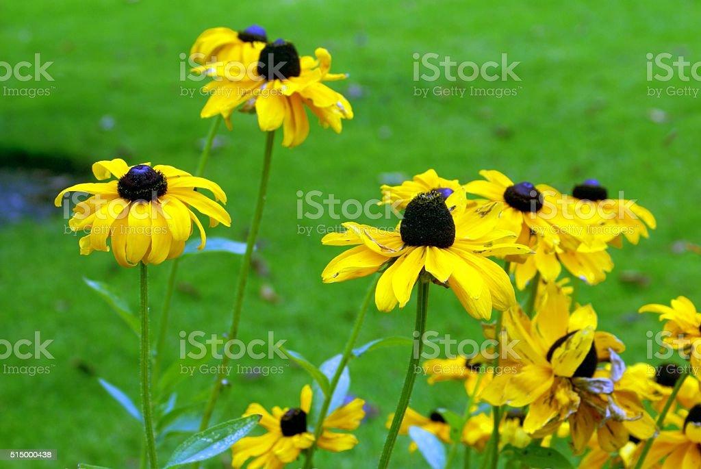 Rudbeckia hirta. Black-eyed Susan, Yellow daisies stock photo