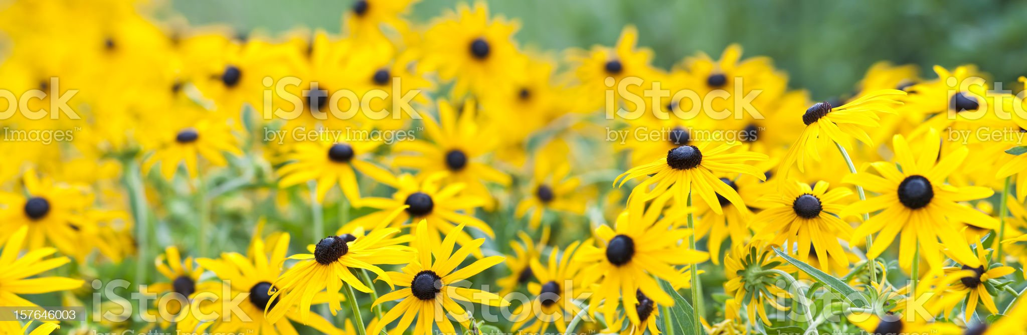Rudbeckia hirta (Black-Eyed Susan) (panorama) royalty-free stock photo