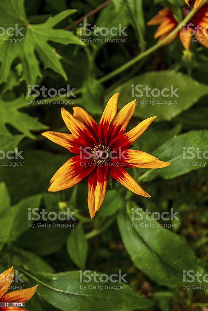 Rudbeckia royalty-free stock photo
