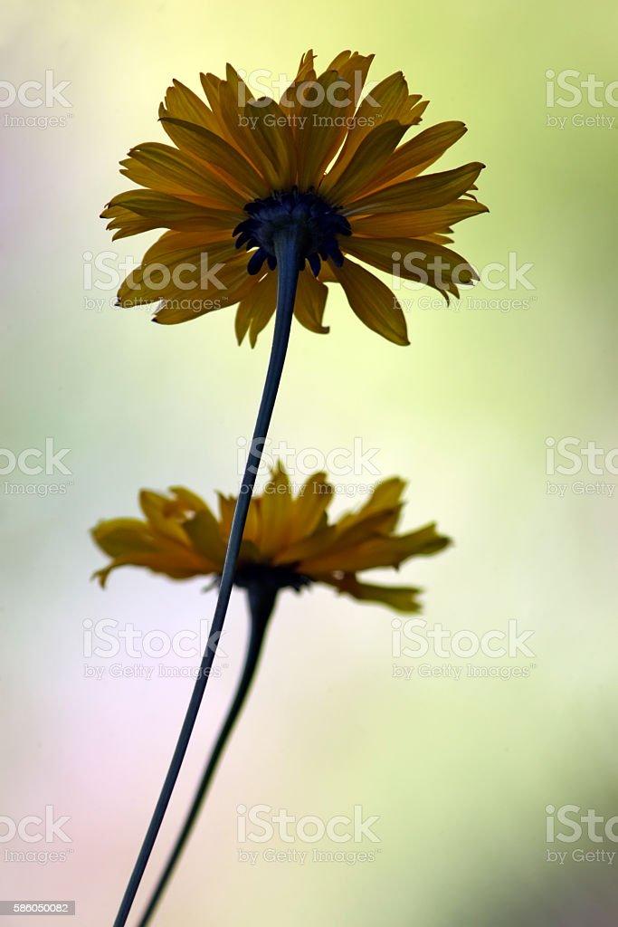 Rudbeckia silhouette stock photo