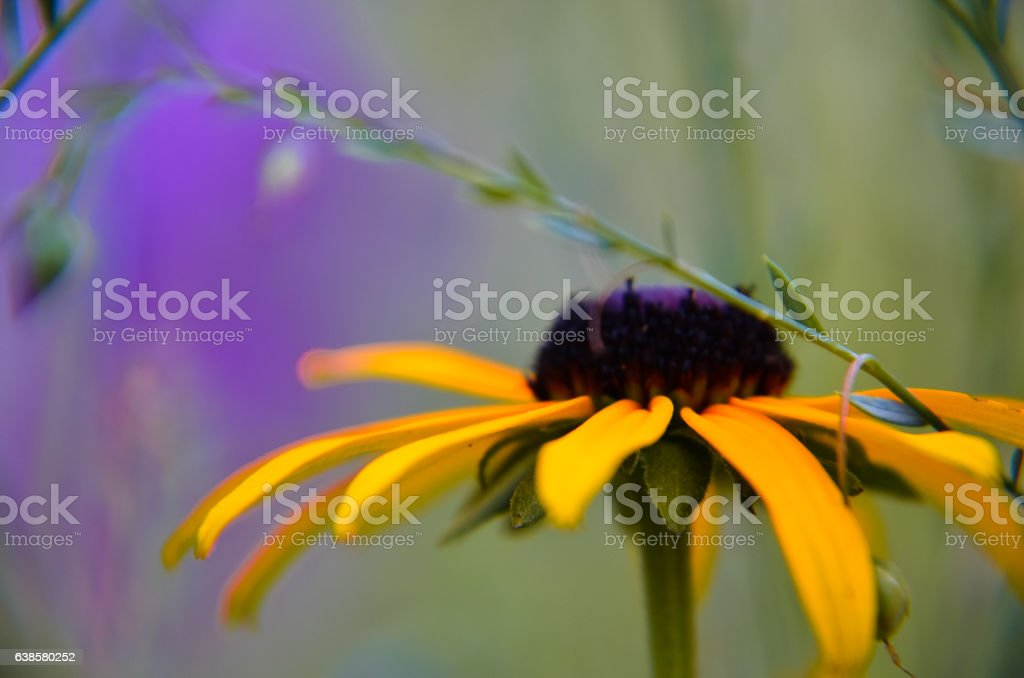 Rudbeckia 'Summerina' Yellow Coneflower, also known as Black-eyed Susan stock photo