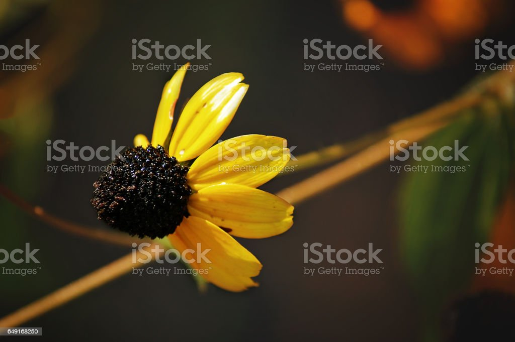 Rudbeckia triloba is a plant native to the United States. stock photo