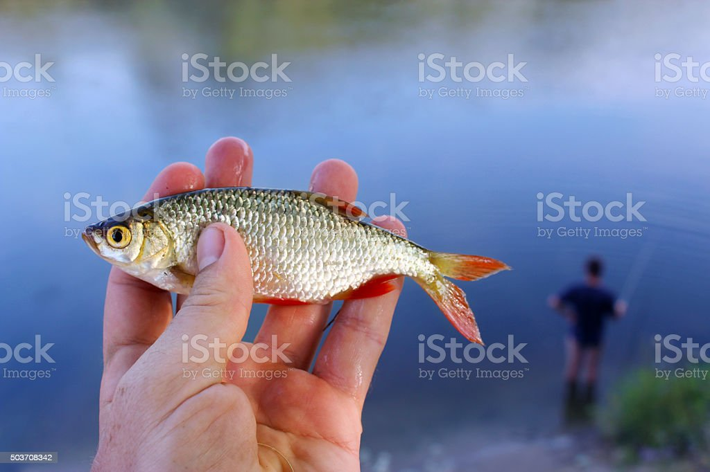 rudd caught in the fishing stock photo