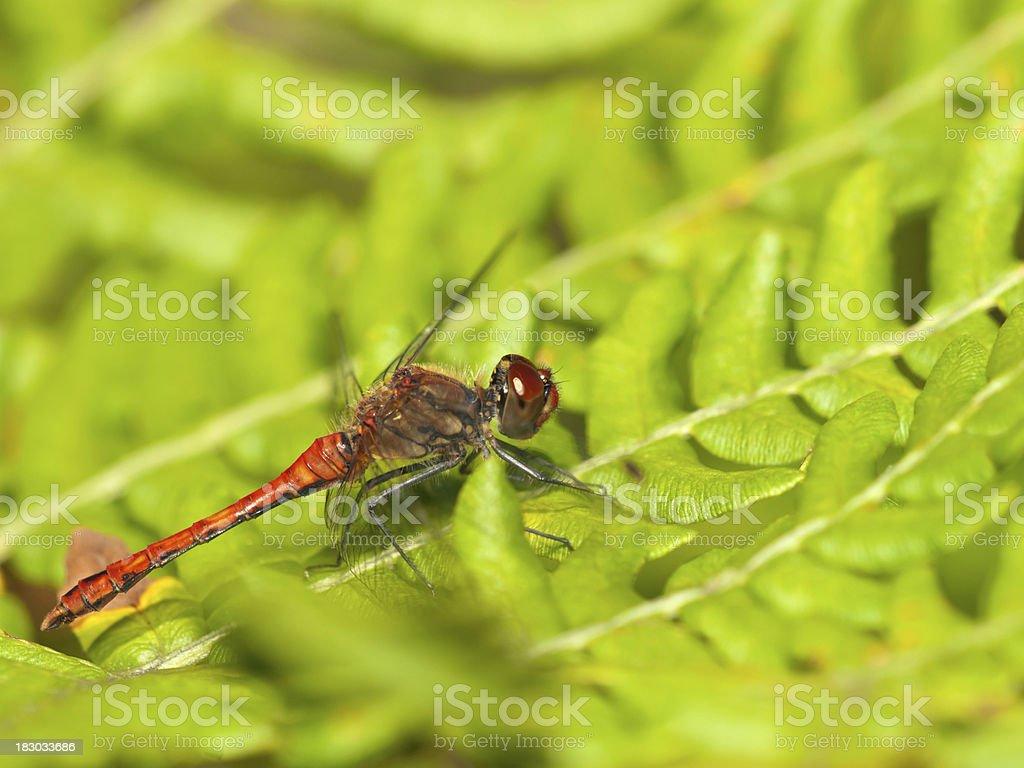 Ruddy Darter (Sympetrum sanguineum) royalty-free stock photo
