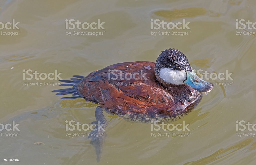 Ruddy Duck in a wetland Pond stock photo