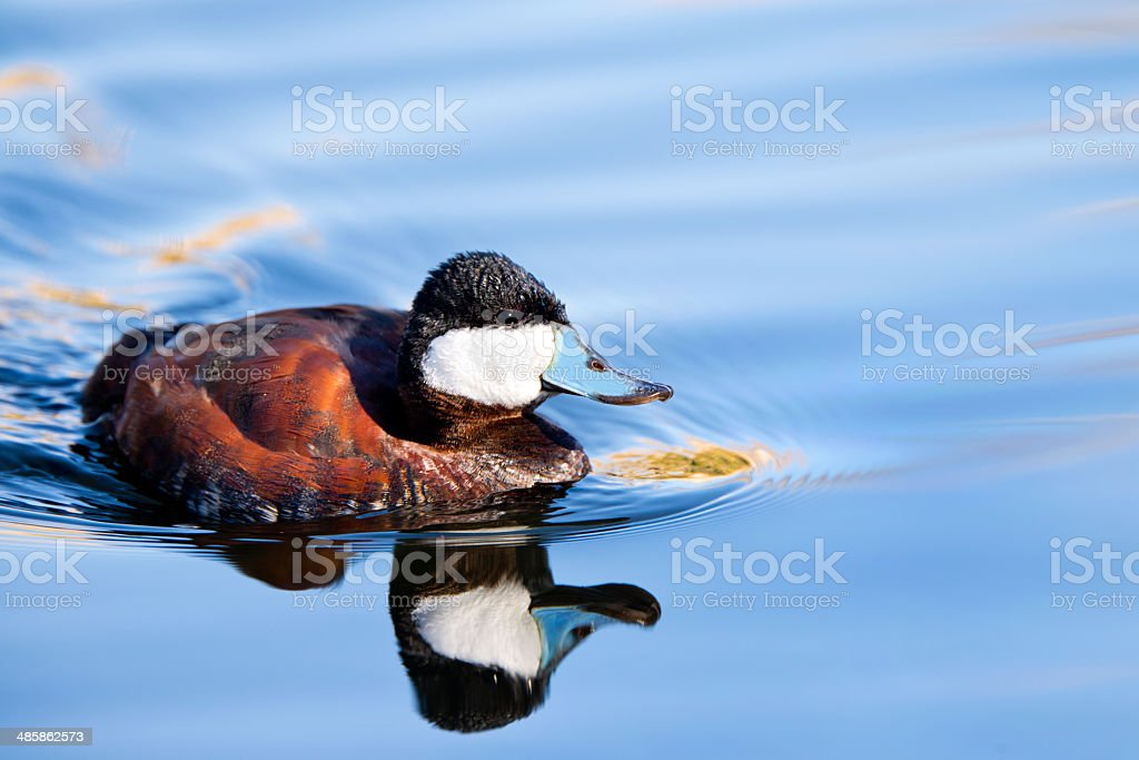 Ruddy duck with Reflection - Arizona, US royalty-free stock photo