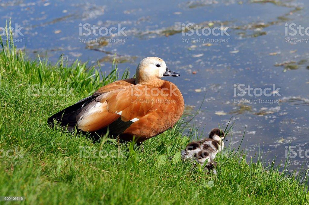 Ruddy shelduck Tadorna ferruginea with ducklings stock photo