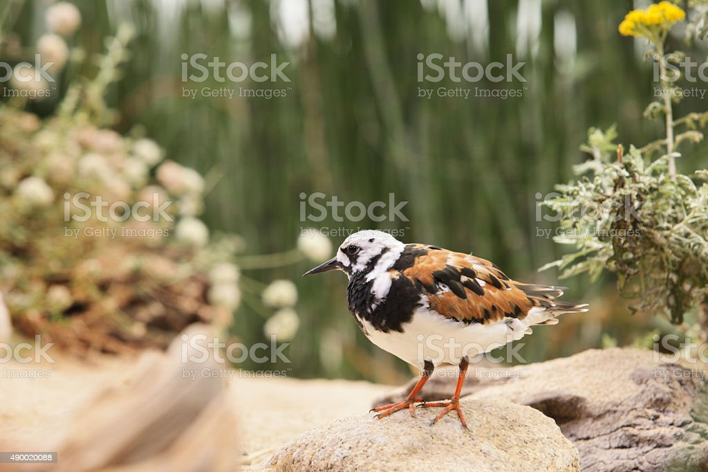 Ruddy Turnstone Arenaria interpres Bird stock photo