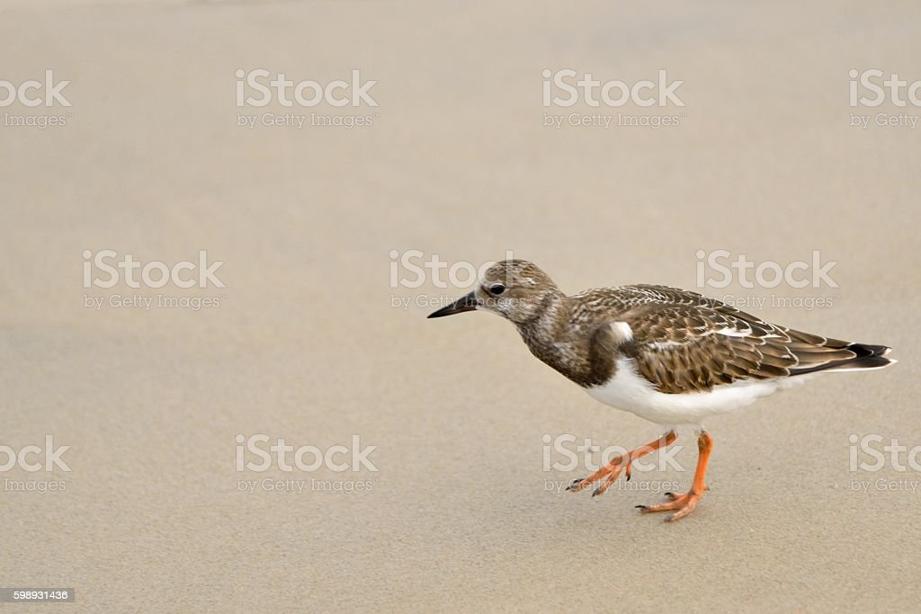 Ruddy Turnstone at Sunset Park stock photo