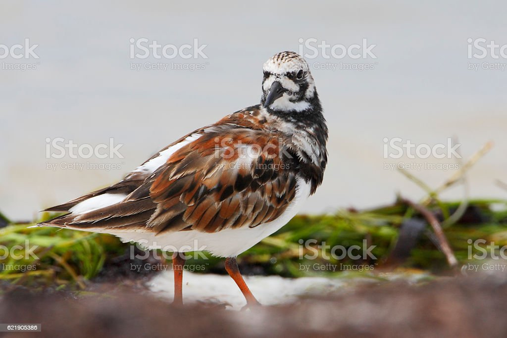 Ruddy turnstone (Arenaria interpres), Curry Hammock State Park, Florida, USA stock photo