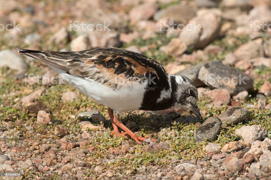 Ruddy turnstone feeds in Chatfield State Park Colorado stock photo