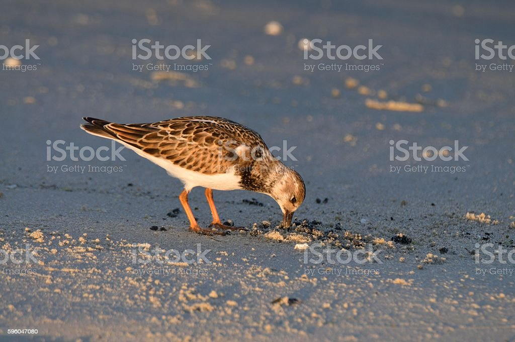 Ruddy Turnstone Feeeding at Sunset Park stock photo