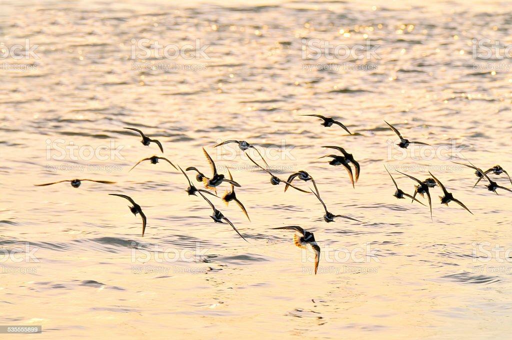 Ruddy Turnstone Flyoff From Shore stock photo