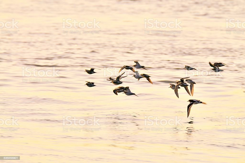 Ruddy Turnstone Flyoff Into The Sun stock photo