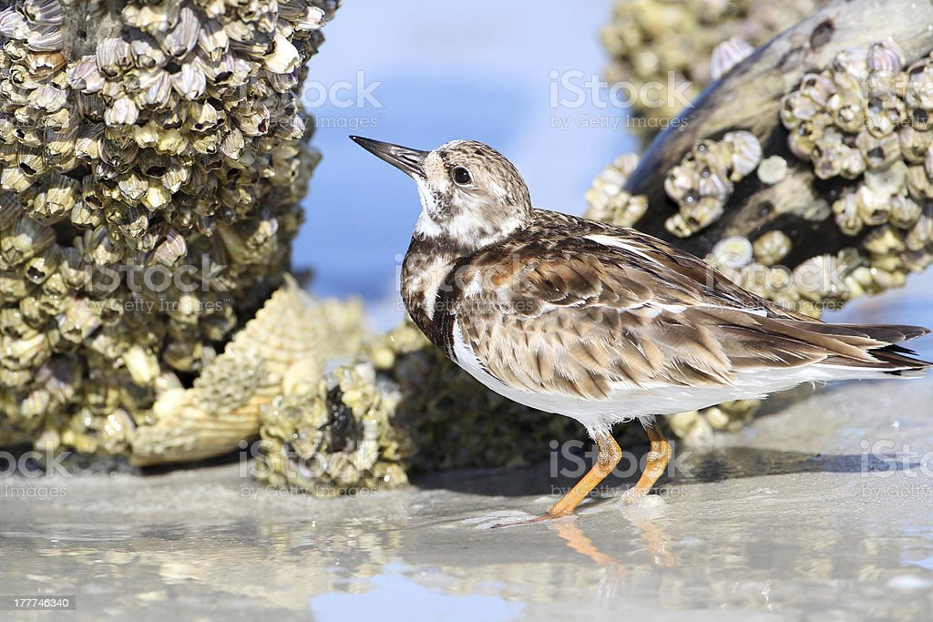 Ruddy Turnstone Foraging for Barnacles royalty-free stock photo