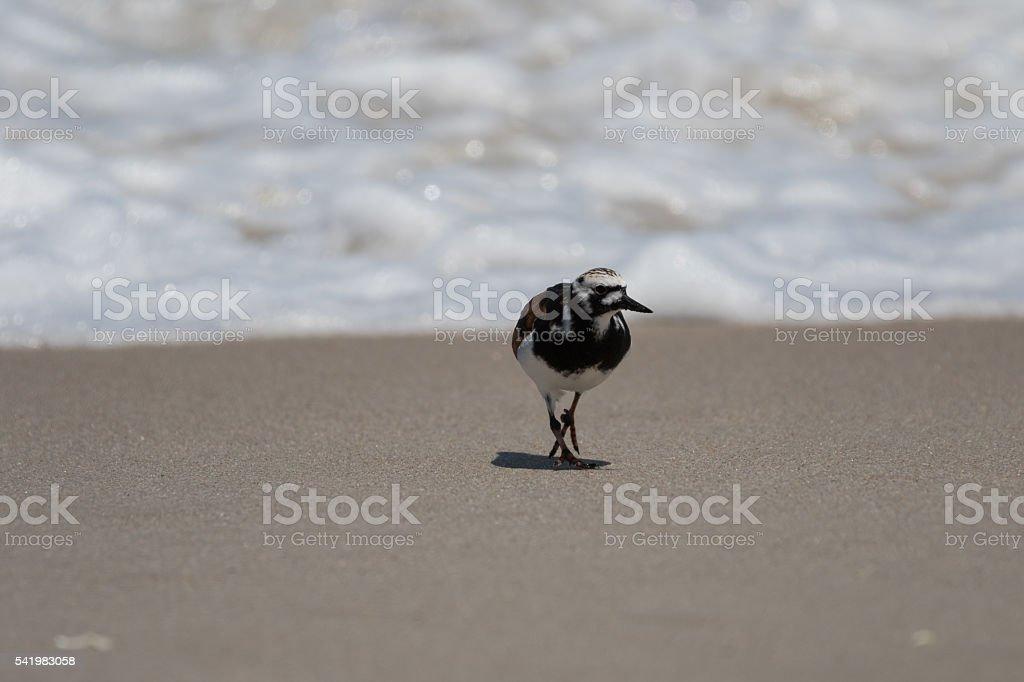 Ruddy Turnstone Foraging, Playalinda Beach, Merritt Island, Flor stock photo