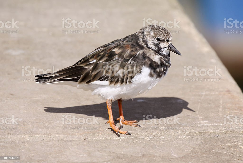 Ruddy Turnstone in Kent, England royalty-free stock photo