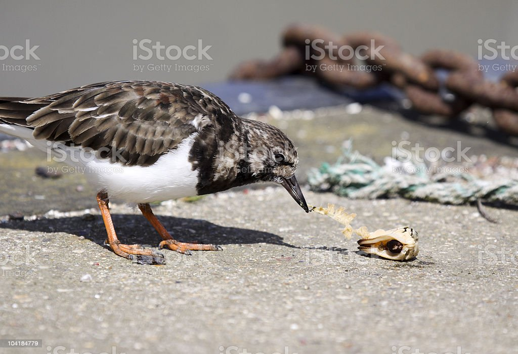 Ruddy Turnstone in Kent, England stock photo