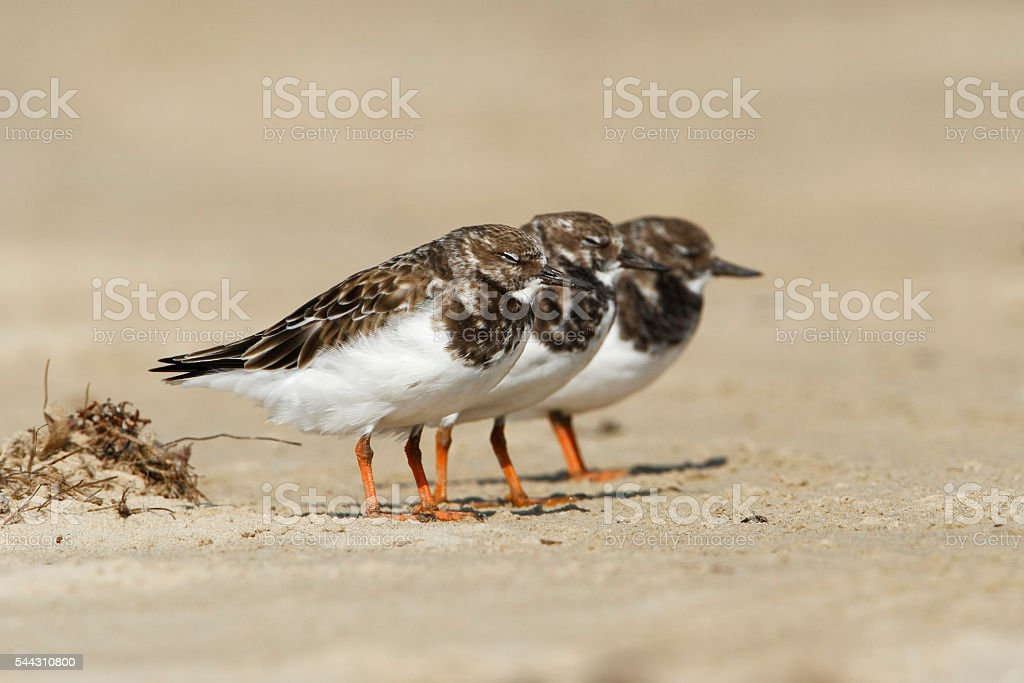 Ruddy turnstone (Arenaria interpres) on beach, Bolivar Peninsula, Texas, USA stock photo