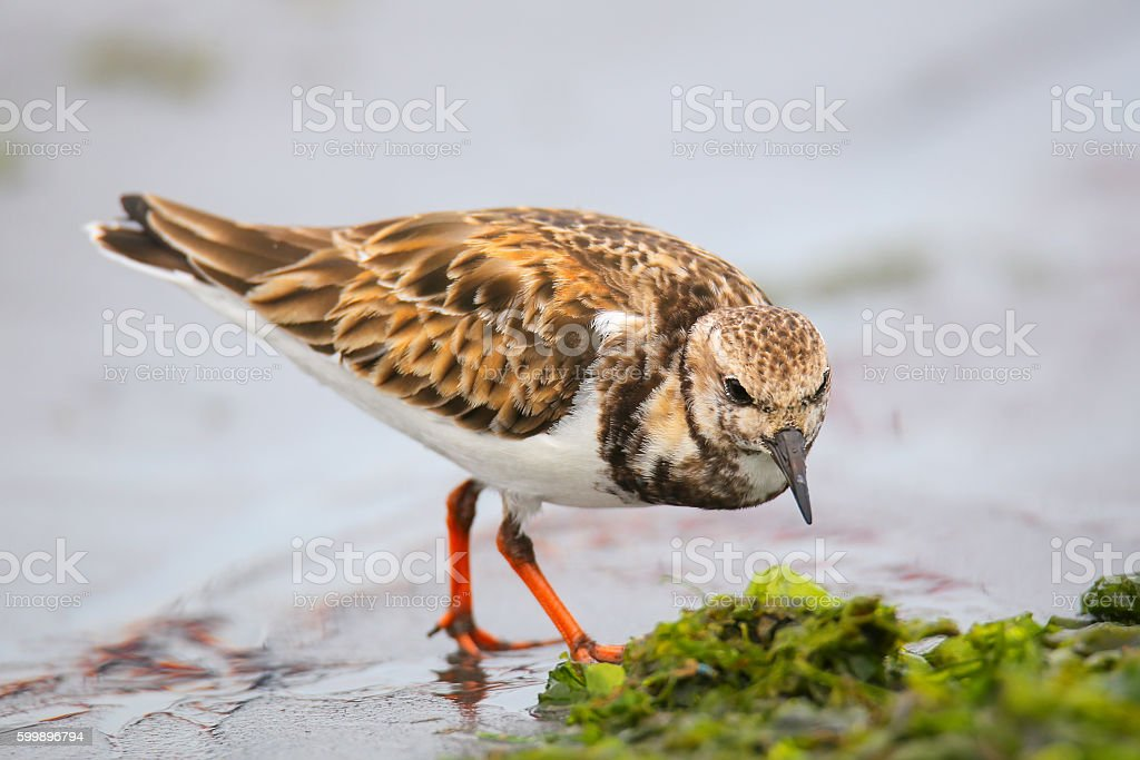 Ruddy Turnstone on the beach of Paracas Bay, Peru stock photo