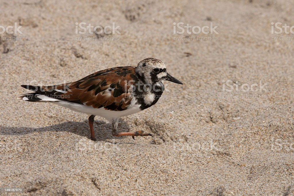 Ruddy Turnstone (Arenaria interpres) royalty-free stock photo