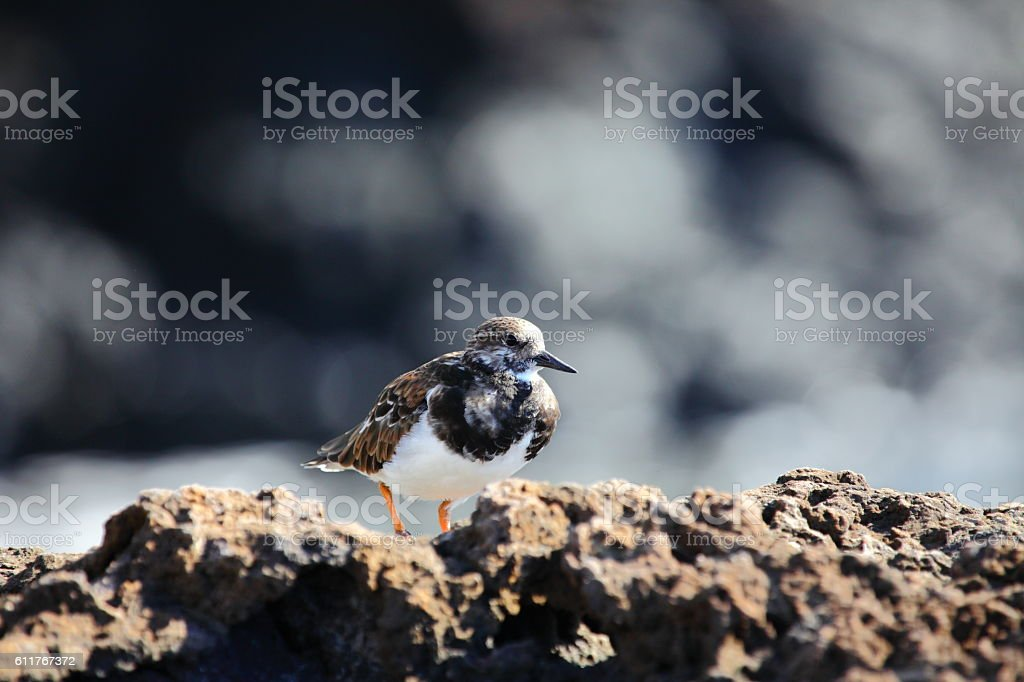 Ruddy turnstone stock photo