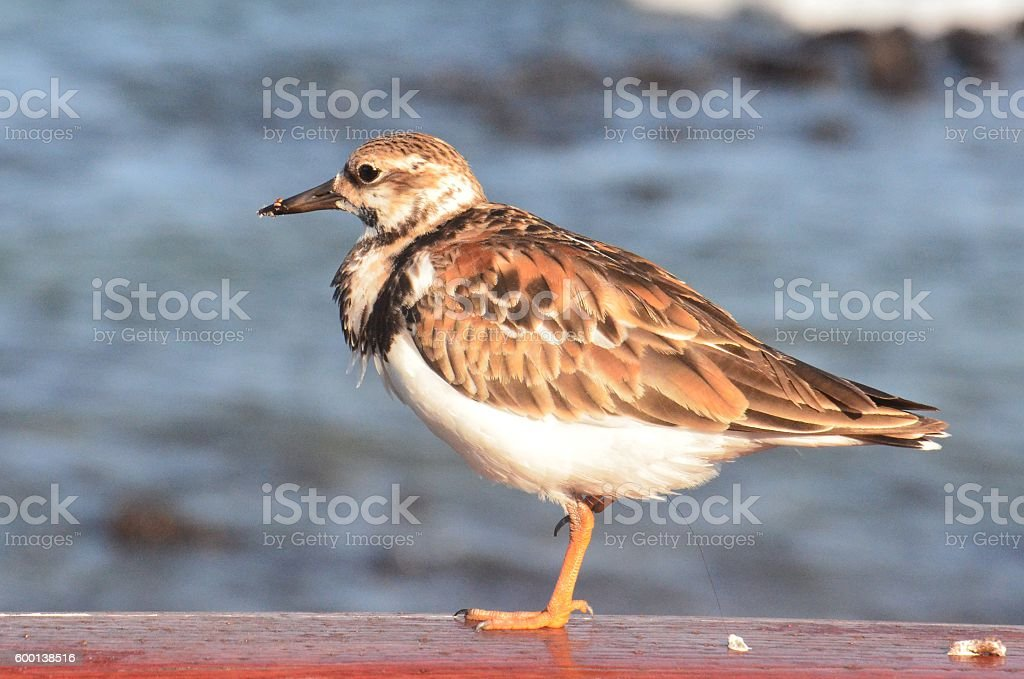 Ruddy Turnstone Profile stock photo