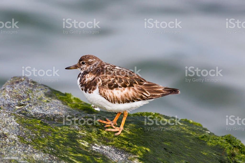 Ruddy Turnstone (Arenaria interpres) Shorebird stock photo