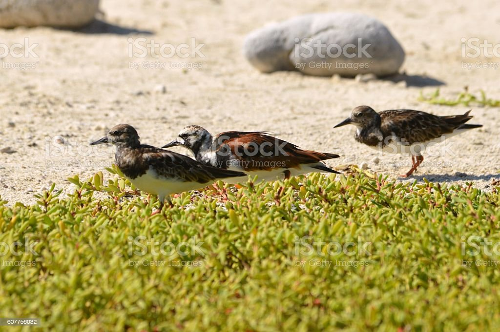 Ruddy Turnstones stock photo