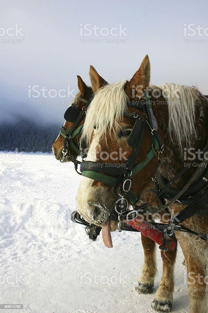 Rude Horse royalty-free stock photo