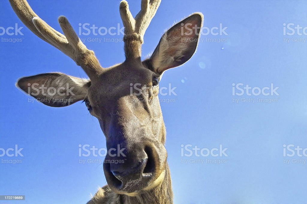 Rudy the Reindeer stock photo
