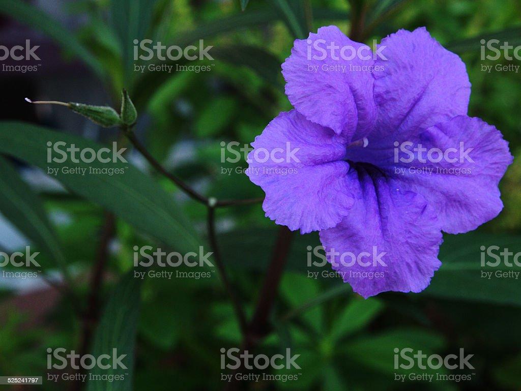 Ruellia flower in Thailand stock photo